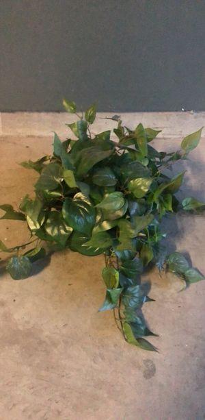 Ficus Plant for Sale in Stockton, CA