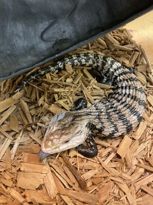 Blue tongue skinks for Sale in Baton Rouge, LA