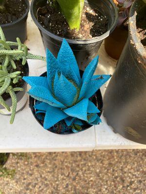 Strikingly blue succulent! Kosmik Kaktus for Sale in Arlington, TX