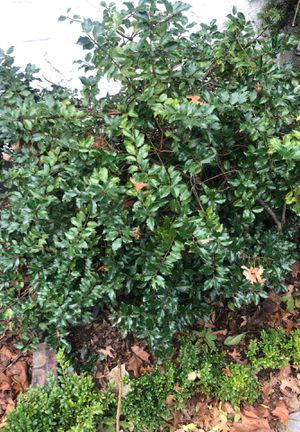 Shrubs Holly, Acuba, Boxwoods for sale for Sale in Great Neck, NY