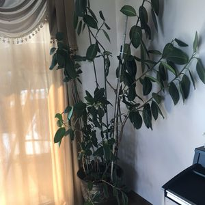 Home bamboo plant. for Sale in MIDDLEBRG HTS, OH