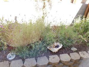 Large lavender plants for Sale in Arroyo Grande, CA