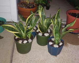 Snake house plants for Sale in St. Louis, MO