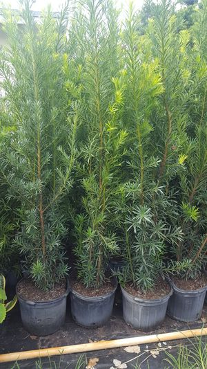 Gorgeous Podocarpus about 6 FEET TALL at just $20 LIQUIDATION SALE just 500 plants left for Sale in Miami, FL