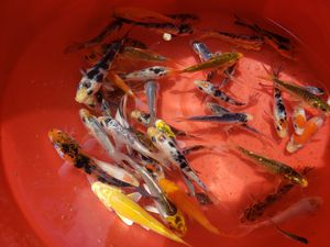Koi for sale. for Sale in Amarillo, TX