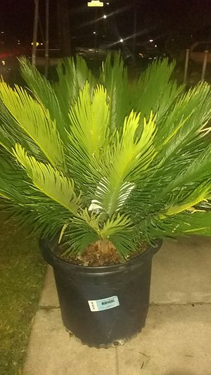 SAGO PALM 42.78L for Sale in Acampo, CA