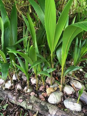Coconut palms for Sale in LAUD LAKES, FL