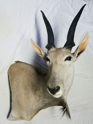 Eland African Mount for Sale in Traverse City, MI