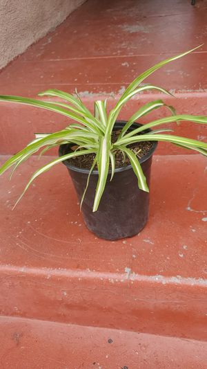 Spider plant for Sale in Bell, CA