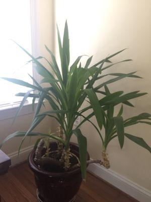 Indoor plant for Sale in Herndon, VA