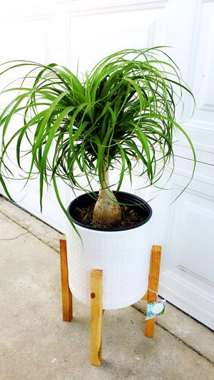"Ponytail Palm. Plant only-About 20"" tall. PLANTER IS NOT INCLUDED. $20 each for Sale in Garden Grove, CA"