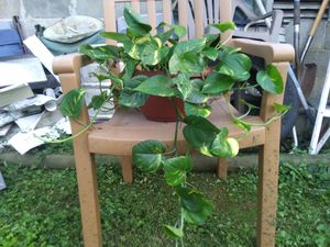 Beautiful potho plant really good size for Sale in Murfreesboro, TN