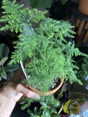 "Potted fern in 4"" terra-cotta pot 🌱 for Sale in Henderson, NV"