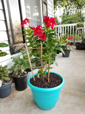 Mandevilla Plant for Sale in Knightdale, NC