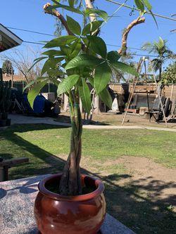 Money Tree for Sale in South El Monte,  CA