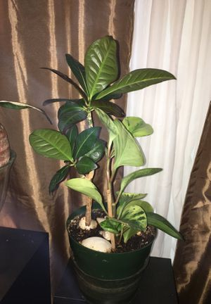 House plant for Sale in Denver, CO