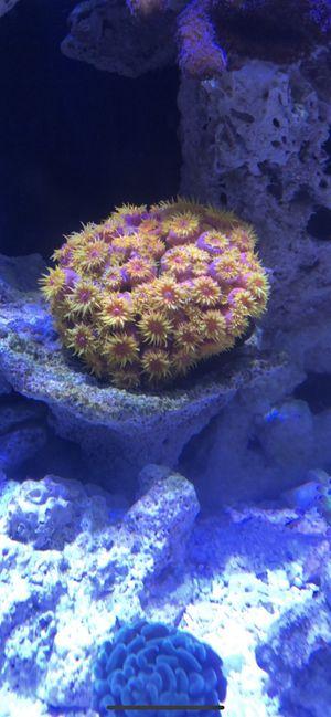 Sun coral colony for sale - cheap for Sale in Boca Raton, FL