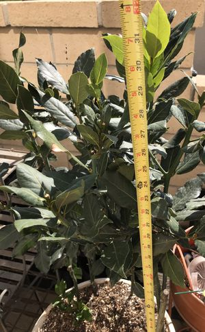 "Bay Leave Established Plant in 16"" pot. SCROLL PICTURES for Sale in Lake Forest, CA"
