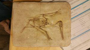 Pteradon fossil replica for Sale in Portland, OR