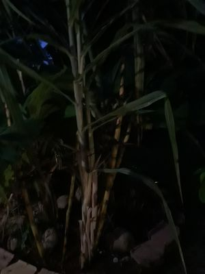 Sugar cane for sale for Sale in Deerfield Beach, FL