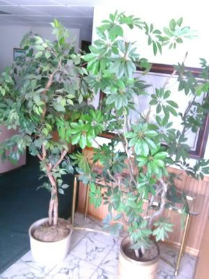 2 - 7ft Executive Office Artificial Ficus Trees plants Tree deco top of the line for Sale in NEW PRT RCHY, FL