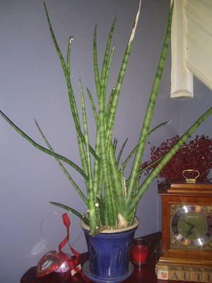 Aloe plant for Sale in Woodbury, NJ