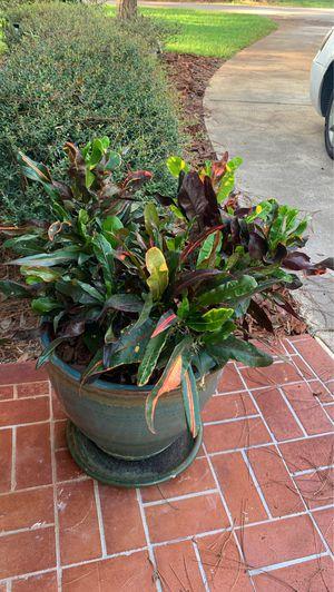 Plant croton for Sale in Sanford, FL