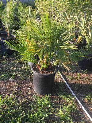 Palm trees for Sale in Hesperia, CA