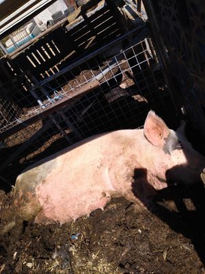 Several pigs different sizes and 1 cow for Sale in Lancaster, CA