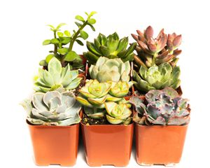 Succulent Plant Assorted Packs- Use for Weddings, Party Favors, or to decorate your Home/Garden! for Sale in Valley Center, CA
