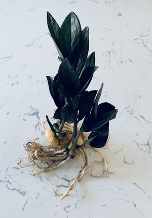 RARE Black Raven ZZ Plant - 25 Leaves for Sale in San Diego, CA