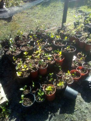 Gardenias for Sale in Lake Wales, FL