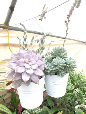 3 Succulents together for Sale in Santa Fe Springs, CA