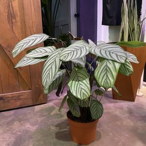 "8"" Ctenanthe Setosa Prayer Plant for Sale in Long Beach, CA"