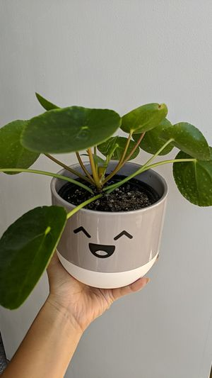 Pilea peperomia chinese coin plant for Sale in Arcadia, CA