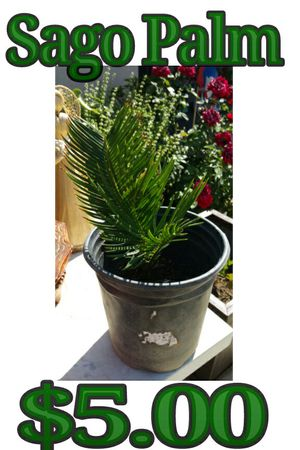 Sago palm for Sale in Hacienda Heights, CA