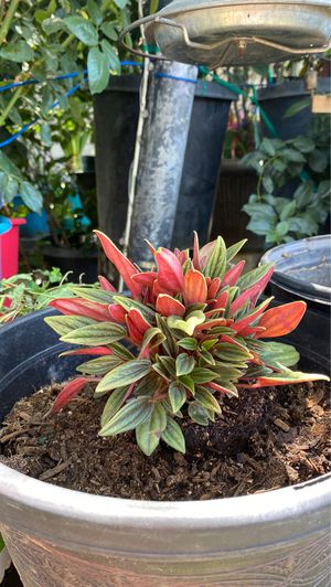 Ruby glow peperomia for Sale in Fresno, CA