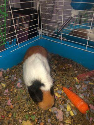 Female Guinea Pig for Sale in Lugoff, SC