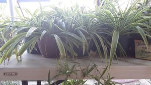 Spider Plants in Pots for Sale in Modesto, CA