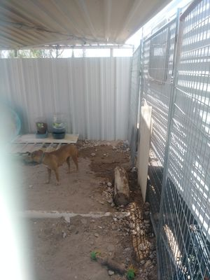 Free girl dog...she is trained for Sale in Odessa, TX
