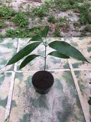 Organic Mango Tree Plant for Sale in Oakland Park, FL