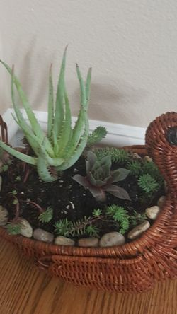 """Real Succulents in Turkey Planter 11""""× 8""""× 6"""" for Sale in Everett,  WA"""