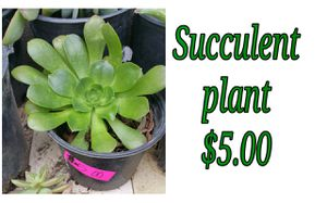 Succulent plant - last one for Sale in Hacienda Heights, CA