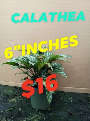 Calatea for Sale in Woodburn, OR