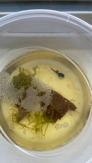 Dart frog tadpoles for sale for Sale in Huntington Beach, CA