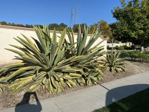 2 HUGE agave plants for Sale in Ladera Ranch, CA