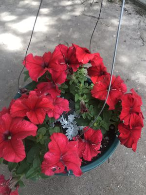 Beautiful red petunia flowers on the hanging pot for Sale in Aurora, CO