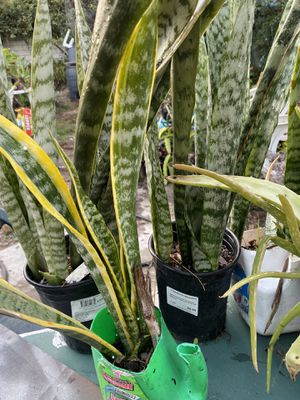 Snake plants for Sale in Artesia, CA