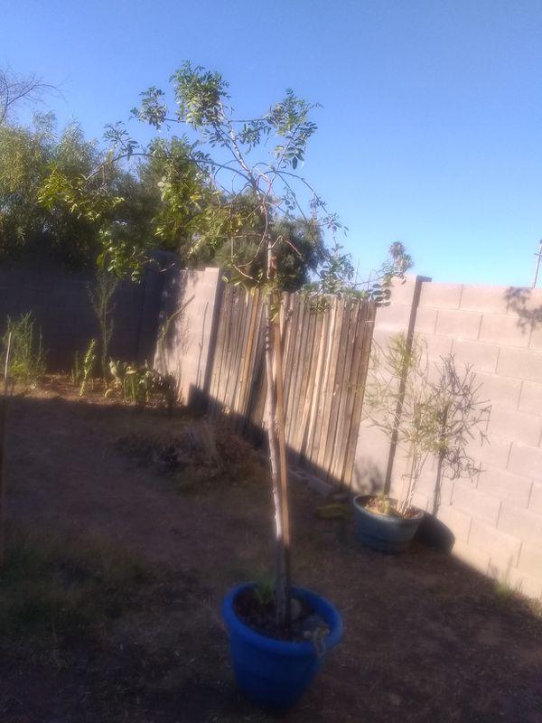 Large California Pepper 🌲 Tree