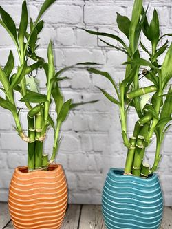 Lucky Bamboo in Orange or Blue Ribbed Pot for Sale in Los Angeles,  CA